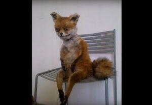 Gay fox